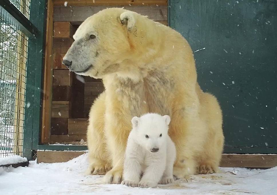 First Polar Bear Cub in 25 Years